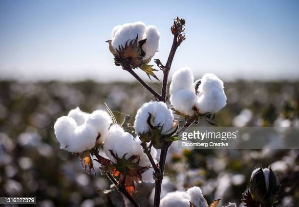 cotton harvest - cotton wool stock pictures, royalty-free photos & images