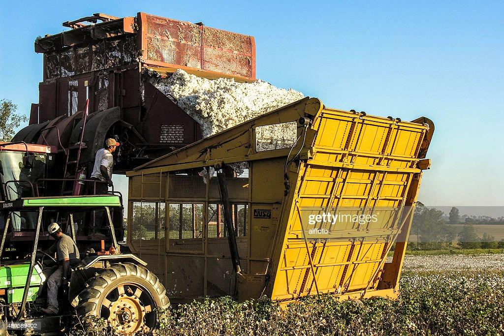 Cotton harvest : Stock Photo