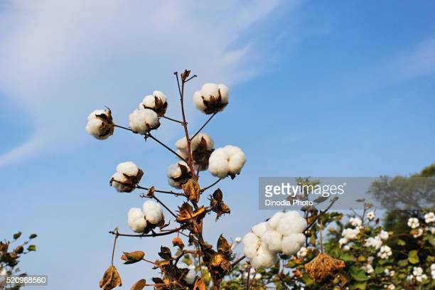 Cotton in farm, Idar, Gujarat, India
