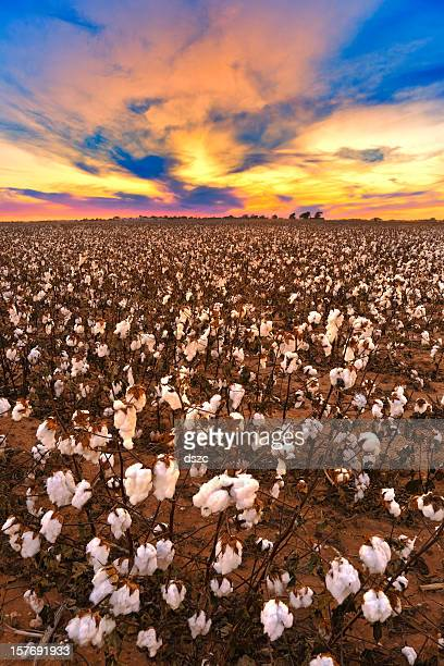 Cotton in field at sunset ready for harvest