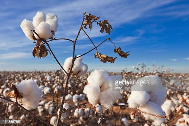 cotton in field ready for harvest - cotton stock pictures, royalty-free photos & images