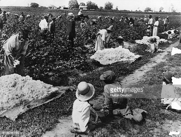 Cotton pickers at work on a plantation in South Carolina