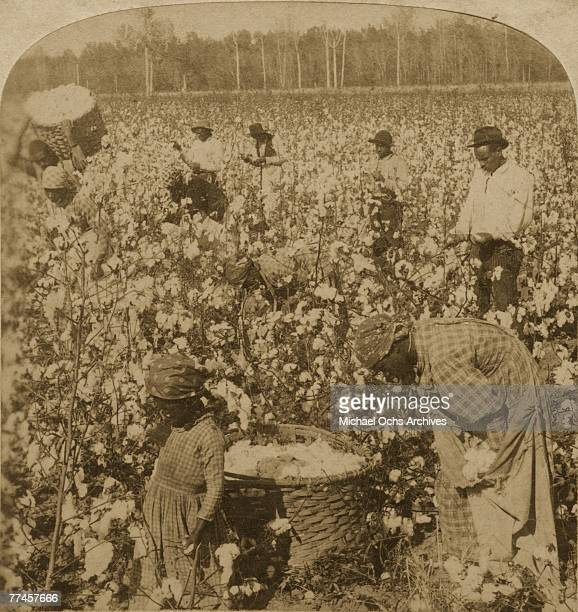 Cotton pickers hard at work on a plantation in 1895 in Georgia