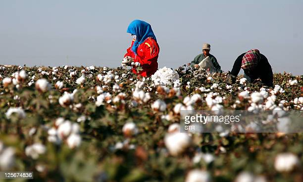 Cotton pickers harvest a crop of cotton at a field in Hami, in China's far west Xinjiang region on September 20 as the Chinese government plans a...