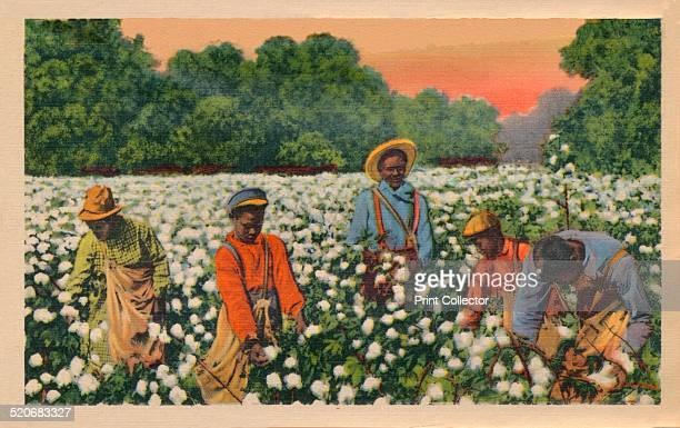 Cotton Picking Augusta Georgia 1943 Cultivation of cotton using slaves brought huge profits to the owners of large plantations making them some of...