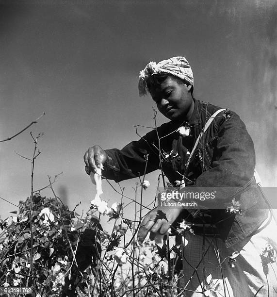 Cotton picking by the Mississippi 1950 Maria came out from Memphis at 5am to spend the day like this picking cotton At 4pm she will be taken back...