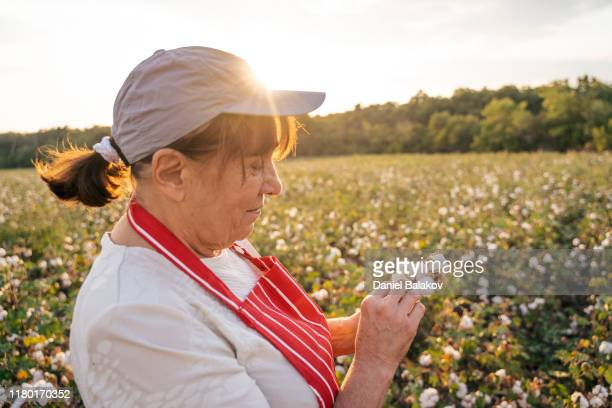 cotton picking season. active senior woman working in the blooming cotton field. two women agronomists evaluate the crop before harvest, under a golden sunset light. - cotton wool stock pictures, royalty-free photos & images