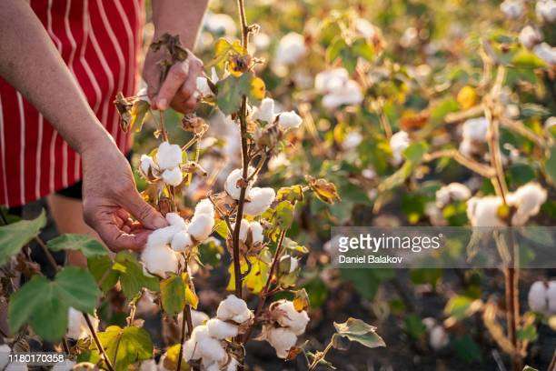 cotton picking season. cu of active senior working in the blooming cotton field. two women agronomists evaluate the crop before harvest, under a golden sunset light. - cotton stock pictures, royalty-free photos & images