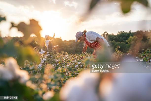 cotton picking season. cu of active senior working in the blooming cotton field. two women agronomists evaluate the crop before harvest, under a golden sunset light. - cotton wool stock pictures, royalty-free photos & images