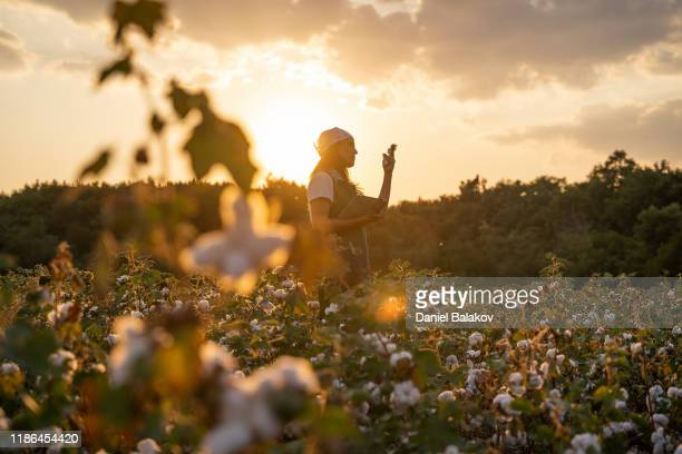 cotton picking season. blooming cotton field, young woman evaluates crop before harvest, under a golden sunset light. - cotton wool stock pictures, royalty-free photos & images