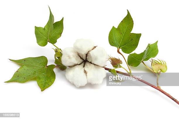 cotton - cotton wool stock pictures, royalty-free photos & images