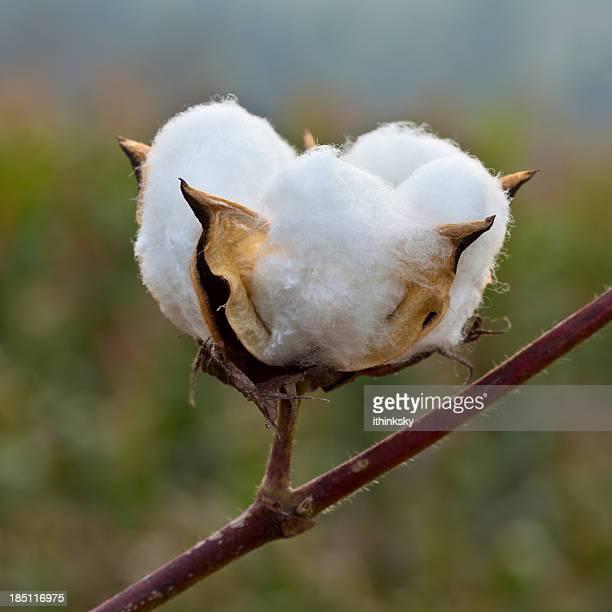 cotton - katoenbol stockfoto's en -beelden