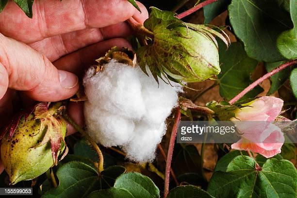 ワタ 3 段階: フラワー、ポッド、完熟綿のさや