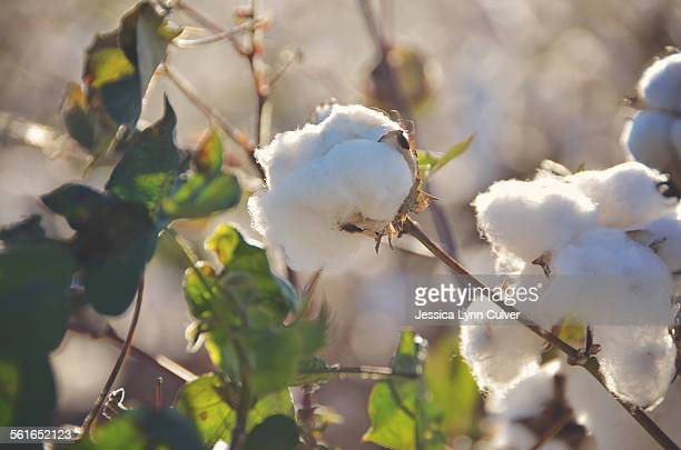 Cotton plant and glowing cotton in the setting sun