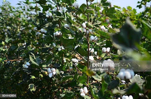 Cotton plant, Gujarat, India