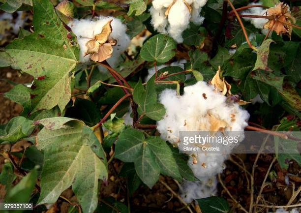 Cotton plant in bloom