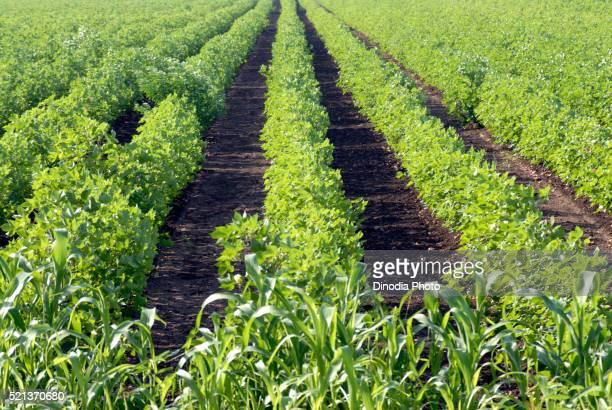 Cotton plant in field, Amreli, Gujarat, India