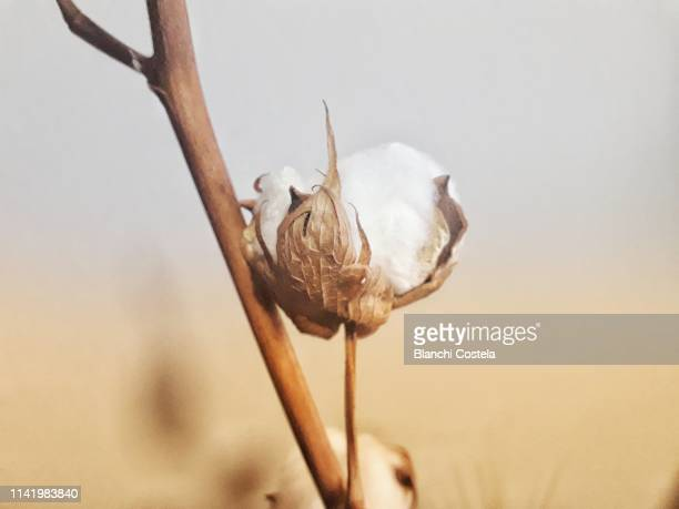 cotton plant in nature - cotton stock pictures, royalty-free photos & images