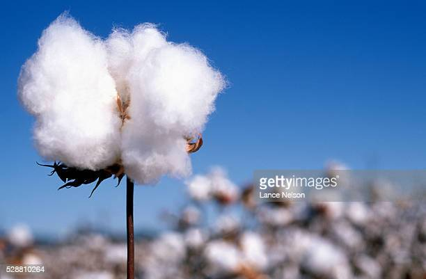 cotton plant - cotton stock pictures, royalty-free photos & images
