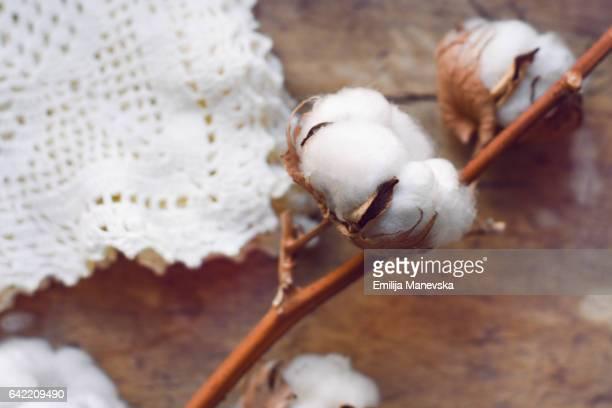 cotton plant - katoenbol stockfoto's en -beelden