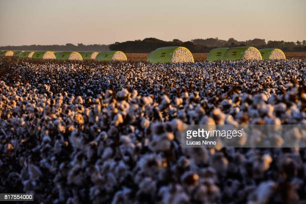Cotton plantation in Mato Grosso