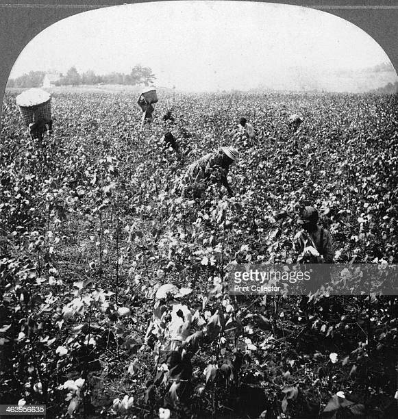 Cotton plantation, Rome, Georgia, USA, 1898. In 1898, Georgia produced half as much cotton as India, and as much cotton as China. Stereoscopic card....