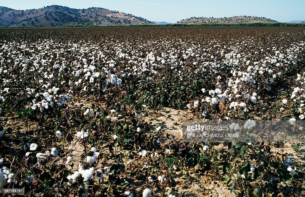 Cotton plants Acarnania region Pictures Getty Images