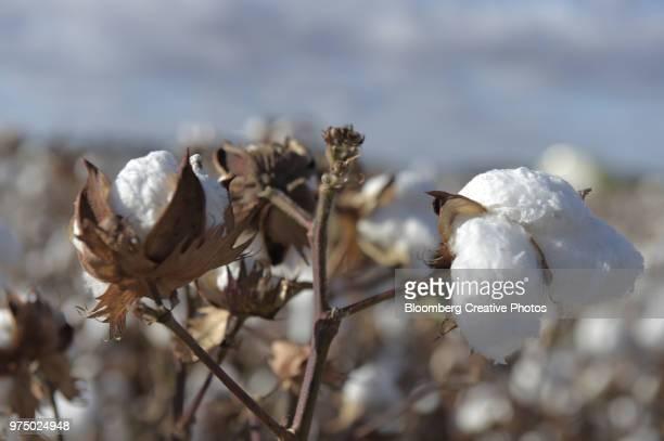 cotton plants grow in a field during harvest - katoenbol stockfoto's en -beelden