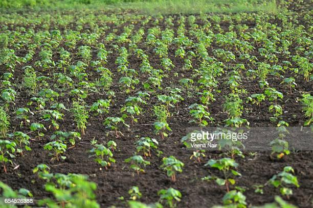 cotton saplings in a field/nagpur/maharashtra - ナグプール ストックフォトと画像