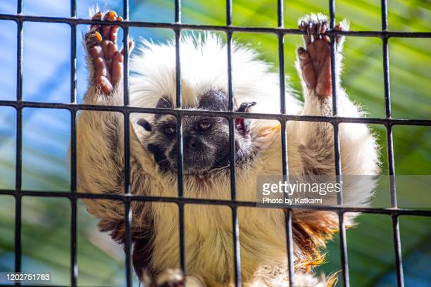 cotton top tamarin hanging onto cage - armpit hair stock pictures, royalty-free photos & images