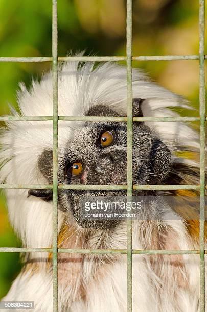 cotton top tamarin - animales en cautiverio fotografías e imágenes de stock