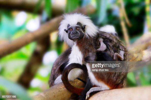Cotton top tamarin with it baby offspring