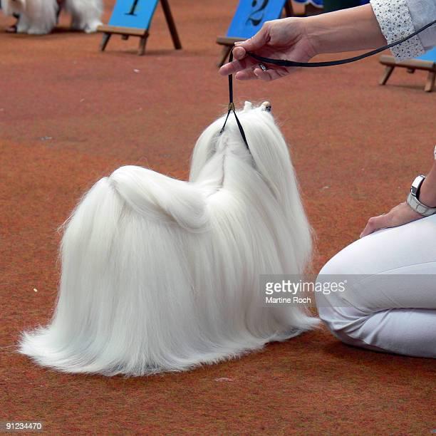 Cotton tulear dog