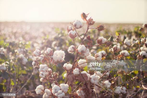 cottonfield - cotton stock pictures, royalty-free photos & images