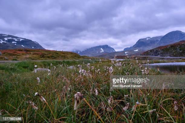 cottongrass, eriophorum groving at the lake stavatn at haukeli norway - finn bjurvoll foto e immagini stock