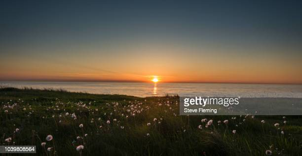 Cotton-grass sunset, North Sea, Denmark.