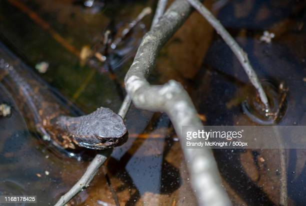 cottonmouth (agkistrodon piscivorus), also known as a water moccasin - cottonmouth snake stock pictures, royalty-free photos & images