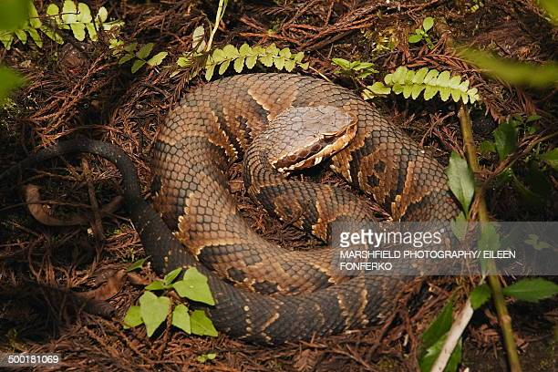 cottonmouth curled surrounded by leaves - cottonmouth snake stock pictures, royalty-free photos & images
