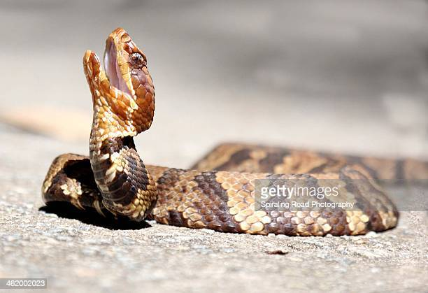 cottonmouth - cottonmouth snake stock pictures, royalty-free photos & images