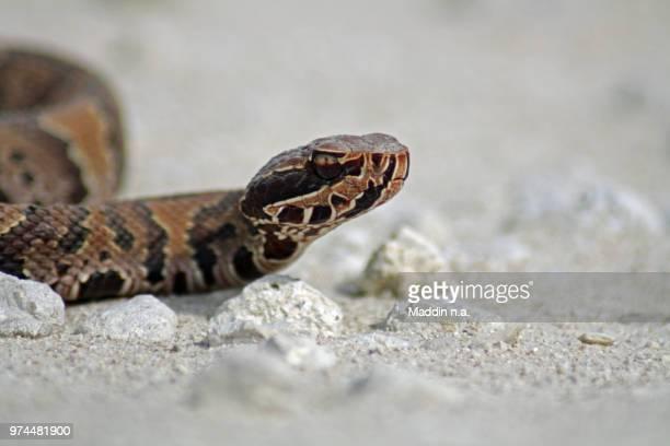 cottonmouth (agkistrodon piscivorus conanti) - cottonmouth snake stock pictures, royalty-free photos & images