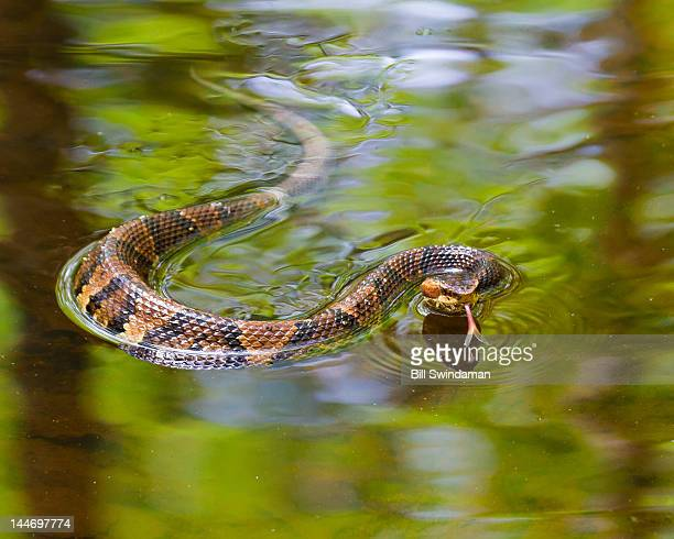 cottonmouth snake swimming - cottonmouth snake stock pictures, royalty-free photos & images