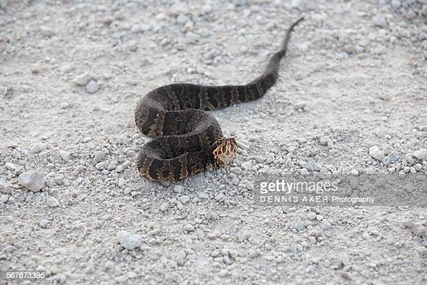 cottonmouth water moccasin snake - cottonmouth snake stock pictures, royalty-free photos & images