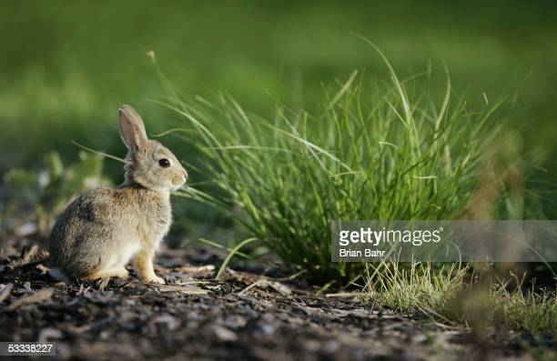 A cottontail rabbit nibbles on some grass near the 17th tee during the International at Castle Pines Golf Club on August 7 2005 near Castle Rock...