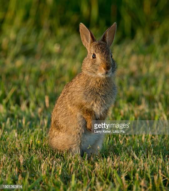 cottontail rabbit - ウサギ肉 ストックフォトと画像
