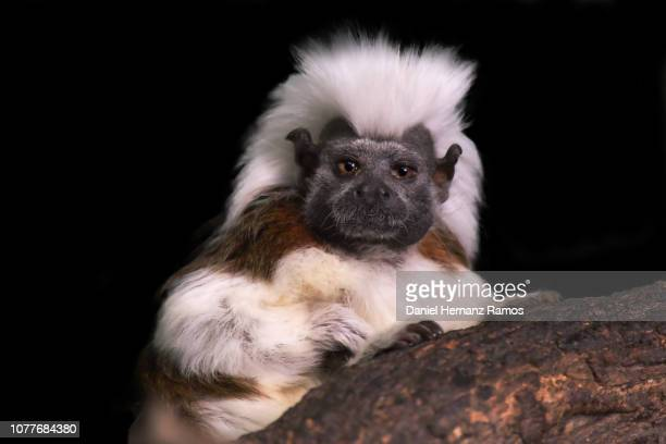 Cotton-top tamarin Close up with black background