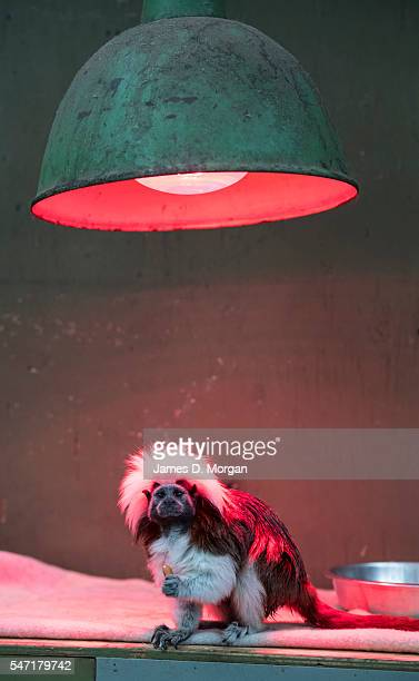 Cotton-top Tamarin sits under a heat lamp at Melbourne Zoo on July 14, 2016 in Melbourne, Australia. Melbourne is currently experiencing a cold snap,...