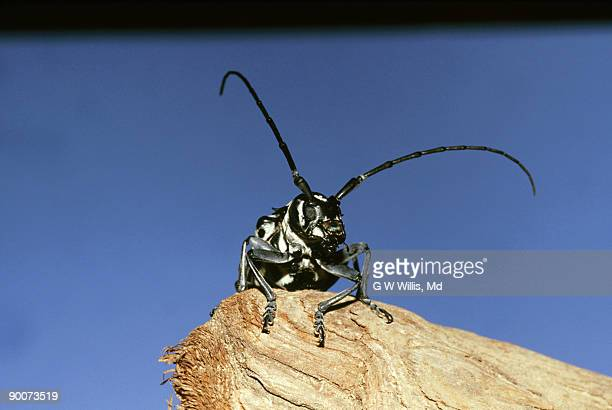 cottonwood borer: plectrodera scalator  long-horned beetle   new orleans, la, usa - horned beetle stock pictures, royalty-free photos & images