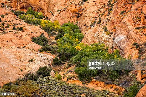 cottonwood grove in slickrock canyon - don smith ストックフォトと画像