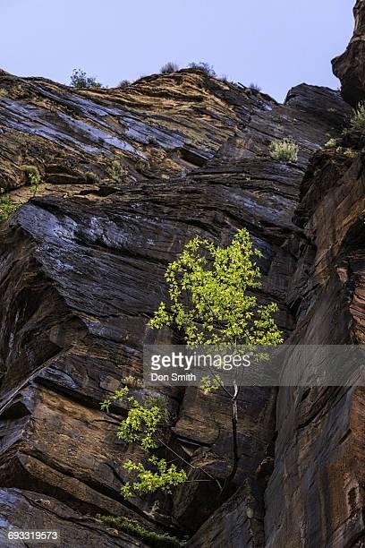 cottonwood in the narrows - don smith stockfoto's en -beelden