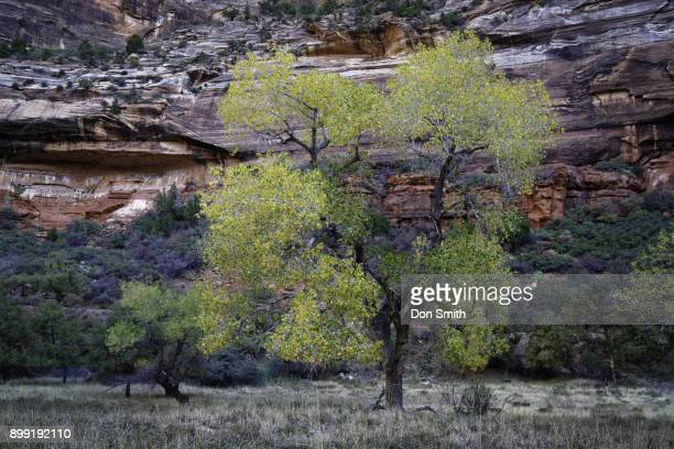Cottonwood in Zion Canyon